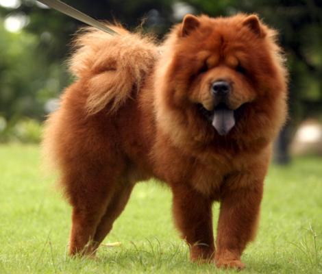 Las razas del perro más caras