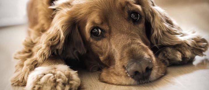 ¿Cómo saber si tu perro tiene depresión y cómo ayudarlo?