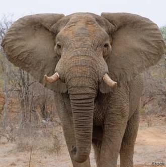Los elefantes tienen la piel tan arrugada por esta curiosa razón