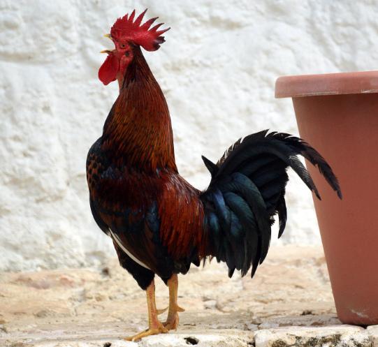 El gallo canta al salir el sol por este motivo