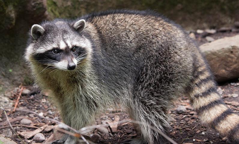 Curiosidades sobre los mapaches