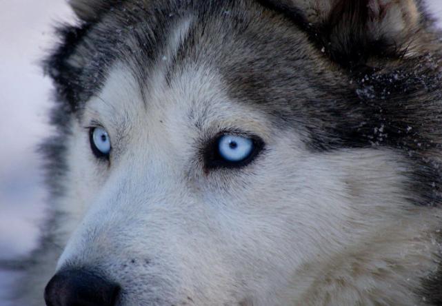 Los huskies tienen los ojos azules por este motivo