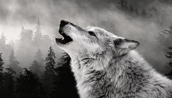 Los lobos aúllan por este motivo