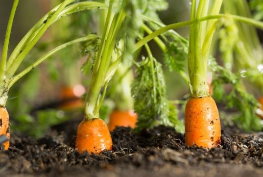 Los grandes beneficios de las zanahorias