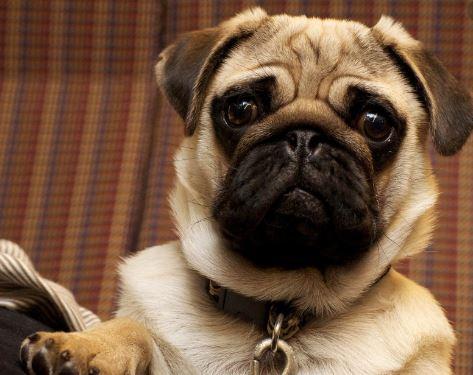 Calcular la edad humana de tu perro