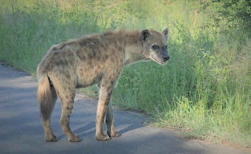 ¿Por qué se ríen las hienas?